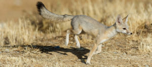 San Joaquin Kit Fox on the Move