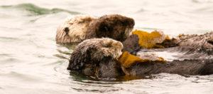 Sea Otters in Kelp Bed